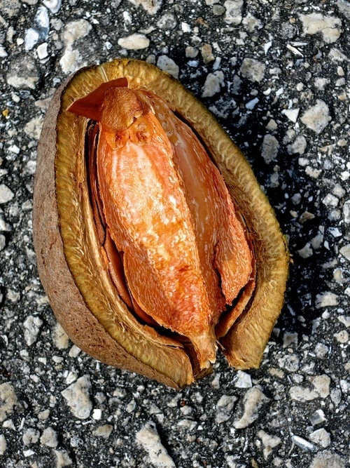 Like an egg. plants, color, texture, outside, florida, pavement, seed, westpalmbeach, seeds, nut, seedpods, seedpod, lakelytalpark, 52260mm, ilobsterit. buy photo
