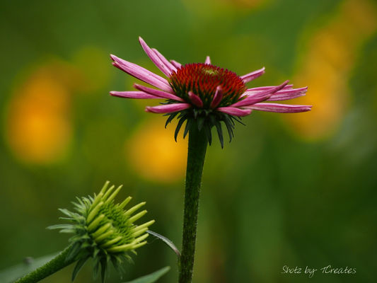 Spiking. pink, flowers, usa, macro, green, floral, yellow, petals, stem, unitedstates, bokeh, blossoms, indiana, owencounty, coneflower, blooms, echinicea, awesomeblossoms, ilobsterit. buy photo