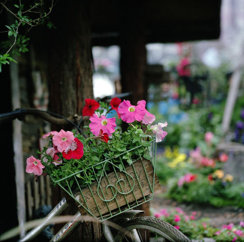 stanely-2689 010. flower, nature, rolleiflex, hongkong, spring, marco, sl66, fujipro400h, ilobsterit. buy photo
