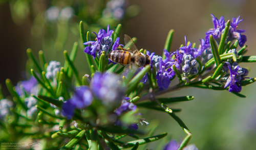 Busy as a..... flowers, flower, gardens, garden, sandiego, gardening, bees, bee, purpleflowers, ilobsterit, dougsooley. buy photo