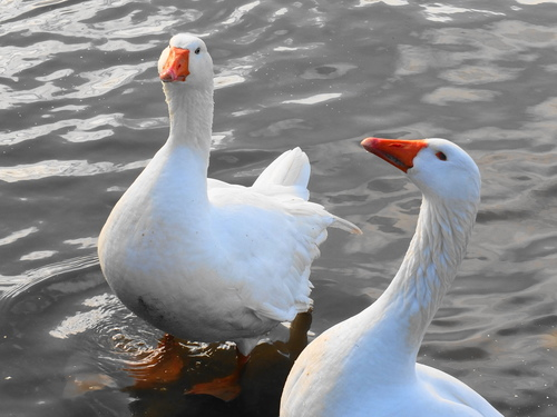 ' C'mon then ! Watcha got for us ? '. geese, topsham, ilobsterit. buy photo