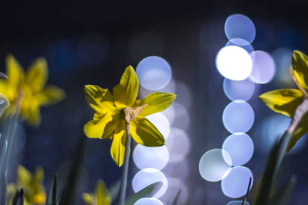 a vase filled with flowers on top of a table. street, flower, night, canon, bokeh, daffodil, 50mmf18, 550d. buy photo