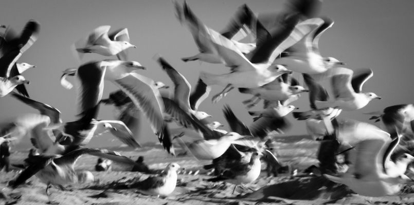 on wings of joy we'll fly. california, sea, seagulls, motion, wings, movement, noiretblanc, action, dramatic, flapping, theocean, flurry, eveninglight, beaks, whiteandblack, enmasse, souring, aflock, beatingofwings, troupeaudemouettes. buy photo