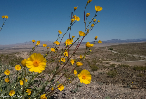 Spring Time in the Desert. west, flower, nature, yellow, desert, nevada, trail, lakemead, blooms, rivermountainlooptrail, ilobsterit. buy photo