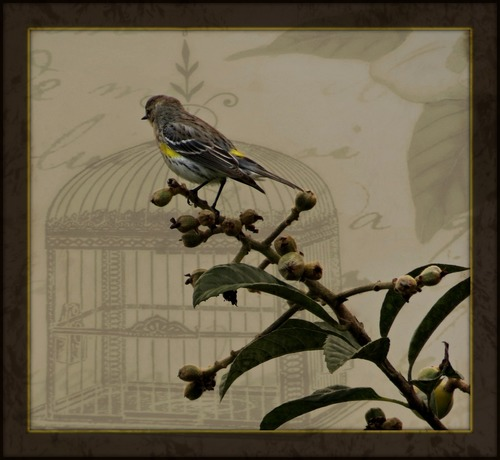 Yellow-Rumped Warbler. bird, florida, ouryard, textured, yellowrumpedwarbler, loquattree. buy photo