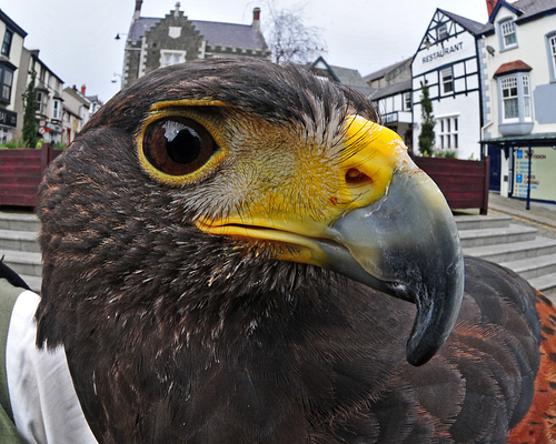 Coastal close up 1. closeup, birdsofprey, coastalhawksproject. buy photo
