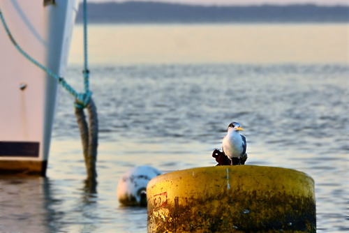 Tern at Home. bird, closeup, dof, bokeh, pov, mooring, tern, buoy, ilobsterit. buy photo