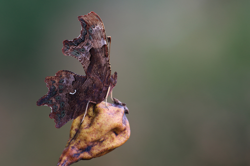 Polygonia c-album (Comma, Gehakkelde aurelia). buy photo