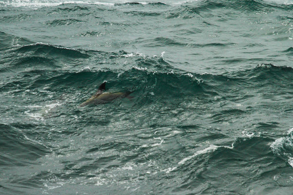 He was having so much fun..!!! until….. sealionswimmingwavesucluelet. buy photo