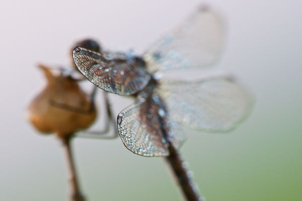 Wings (4). wings, dragonfly, nikond800, sigma180mm128apomacrodghsm. buy photo
