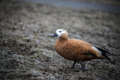 Ути-ути. park, bird, nature, canon, walking, duck, alone, russia, bokeh, moscow, 6d, 180mm, 500px, ilobsterit, 18035l. buy photo