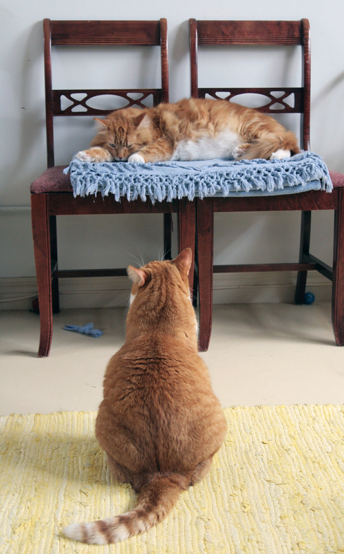 Toby wants more!. toby, orange, cats, cat, chairs, tabby, kitty, kitties, fiddy, gingercats, orangecats. buy photo