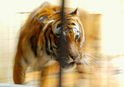 The speed of a Tiger. portrait, nature, water, animals, zoo, swan, photos, tiger, picture, ilobsterit. buy photo