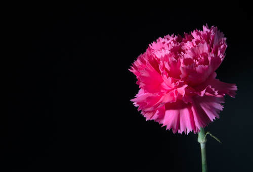 Pink and beautiful. pink, flower, flash, indoor. buy photo