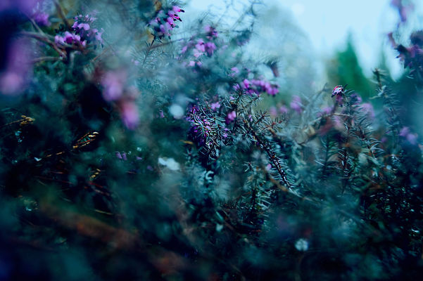 Barely Glimpsed Elegance. pink, flowers, blue, green, heather. buy photo
