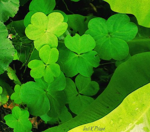 Shamrocks. irish, holiday, shamrocks, photoart, tmi, stpatsday, vividimagination, thegalaxy, flickraward, theperfectphotographer, thebestofday, awardtree, gailpiland, ringexcellence. buy photo