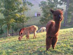 Cobb Hill Alpacas