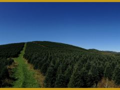 Blue Ridge Christmas Trees