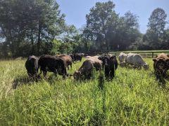 Caitlyn Farms Sustainably Raised Beef