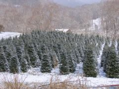 Mehaffey Tree Farm