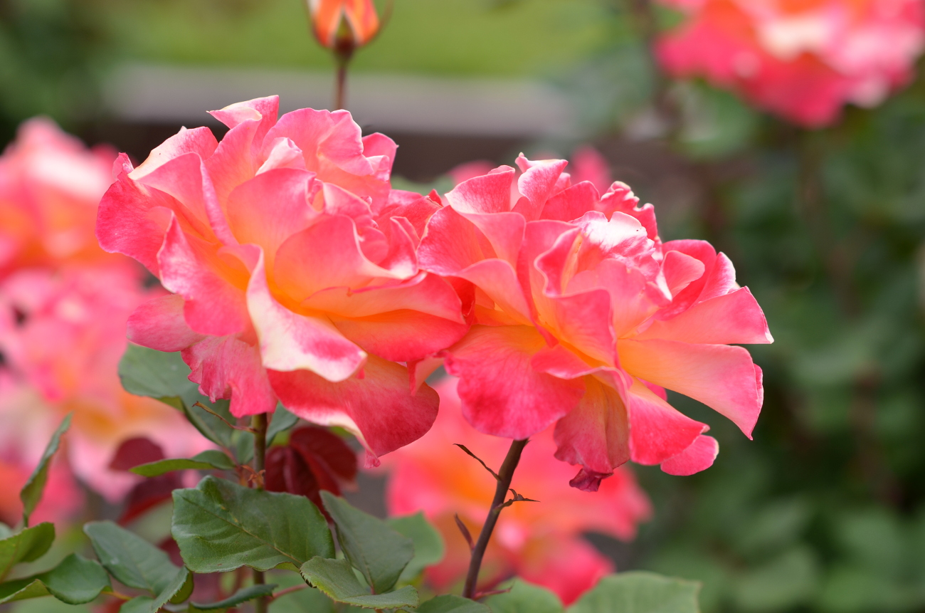 coral pink roses