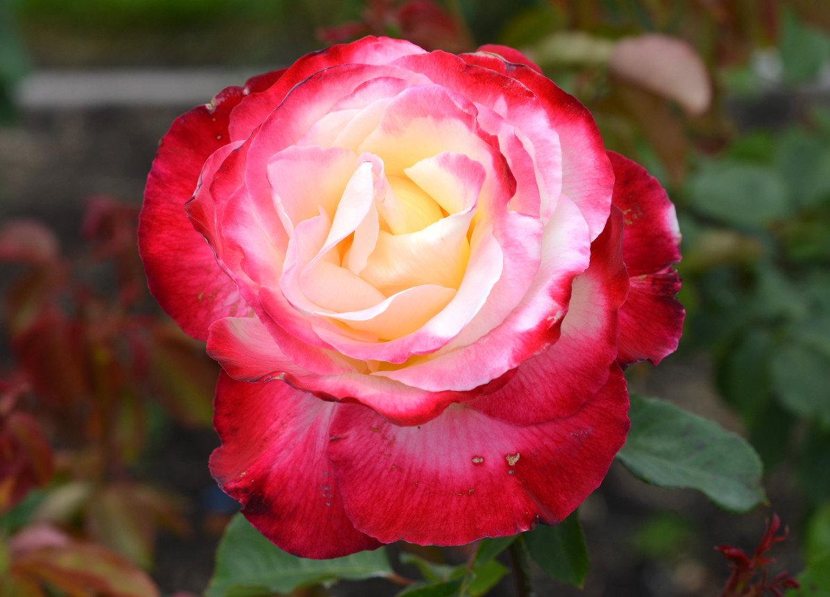 color changing rose white yellow pink red
