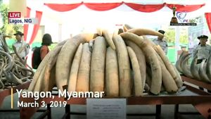 Myanmar Burns Confiscated Wildlife Parts in Yangon