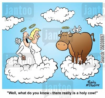 holy cow cartoon humor: 'Well, what do you know - there really is a holy cow!'