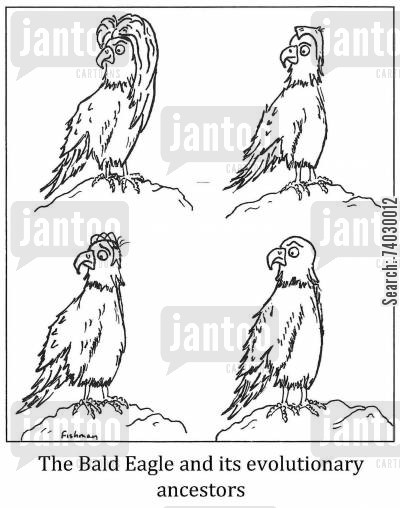 losing hair cartoon humor: The Bald Eagle and its evolutionary ancestors.
