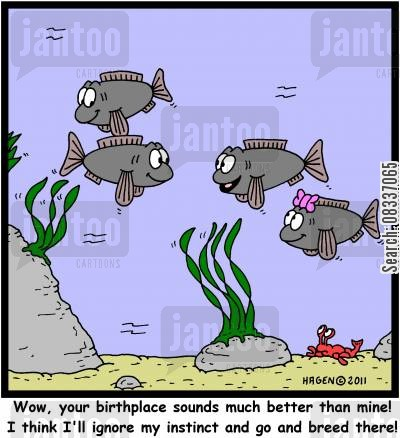 salmons cartoon humor: 'Wow, your birthplace sounds much better than mine! I think I'll ignore my instinct and go and breed there!'