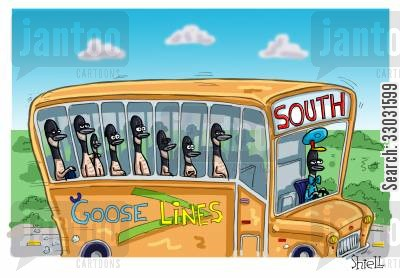 flock together cartoon humor: Goose Bus.