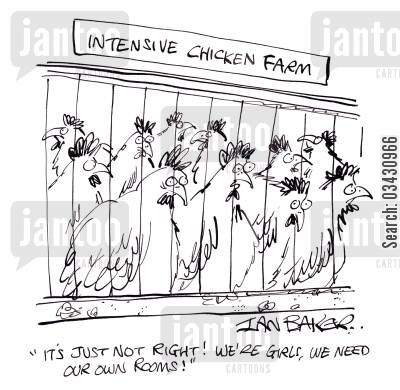 battery hen cartoon humor: 'It's just not right! We're girls, we need our own rooms!'