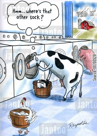 chickens cartoon humor: 'Hmmm...where's that other sock?'