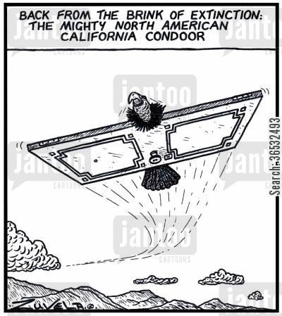condors cartoon humor: Back from the brink of extinction: The mighty North American California Condoor.