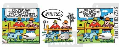 sheep dogs cartoon humor: You paid two thousand quid for a part border collie and part bull!