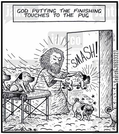 pedigrees cartoon humor: God putting the finishing touches to the Pug.