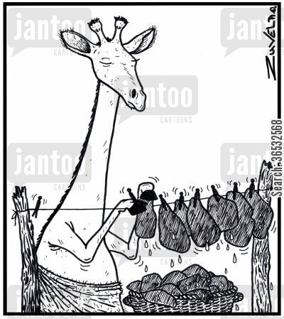 clothes lines cartoon humor: A male Giraffe hanging out his body markingsspots on his clothes line.