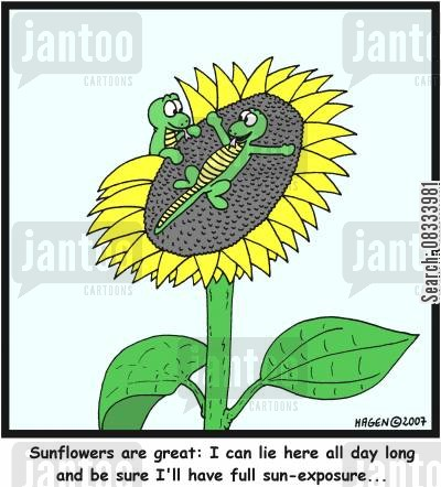 sun exposure cartoon humor: 'Sunflowers are great: I can lie here all day long and be sure I'll have full sun-exposure...'