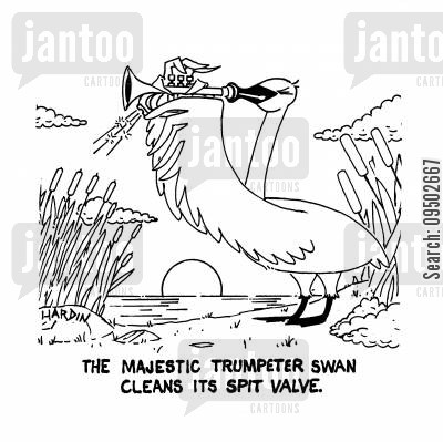 trumpet players cartoon humor: The majestic trumpeter swan cleans its spit valve.