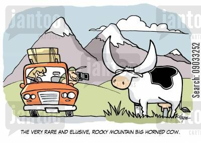 rocky mountain cartoon humor: The very rare and elusive, Rocky Mountain Big Horned Cow.