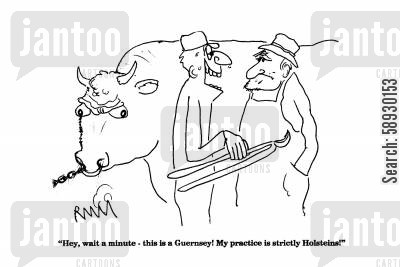 angry bull cartoon humor: 'Hey, wait a minute - this is a Guernsy!...'