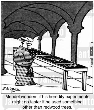 seedlings cartoon humor: Mendel wonders if his heredity experiments might go faster if he used something other than redwood trees.