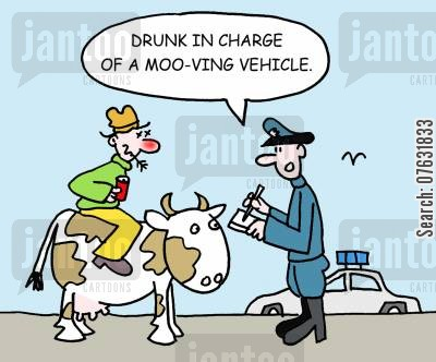 driving offence cartoon humor: Drunk in charge of a moo-ving vehicle.