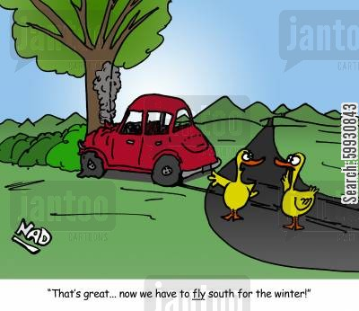 traffic collision cartoon humor: Two ducks have crashed their car - 'That's great... now we have to fly south for the winter!'