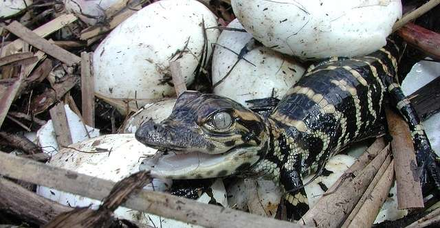 baby alligator and eggs