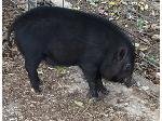Lot: 2 - Pig