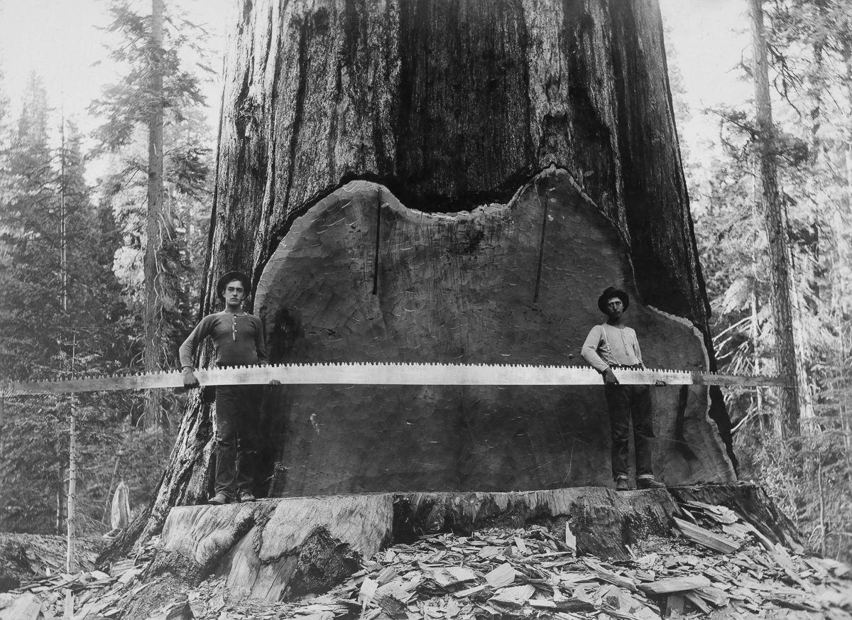 Loggers holding a crosscut saw next to a giant Sequoia tree. California 1917. Image: A. R. Moore Mitigating Paper Emissions Through Sustainable Forestry