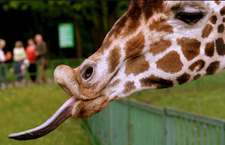 How much do giraffes eat per day, on average?