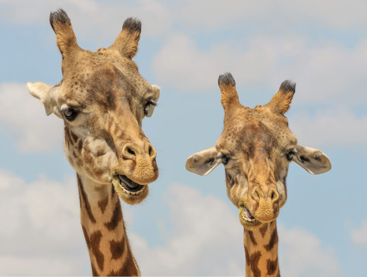 How long do most giraffes sleep in a 24-hour period?