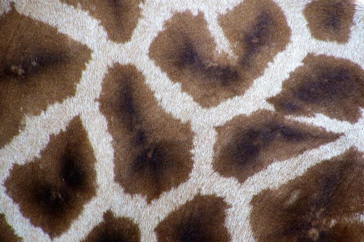 True or False: Giraffes have unique spots, just like human fingerprints.